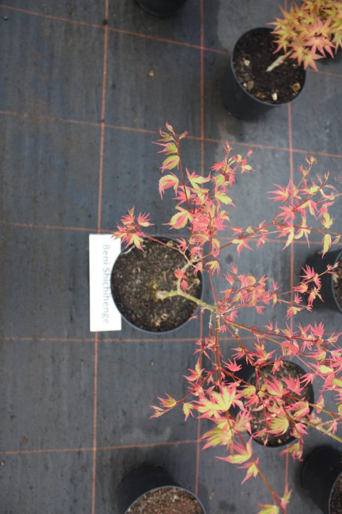 Acer Palmatum – Beni Shichihenge