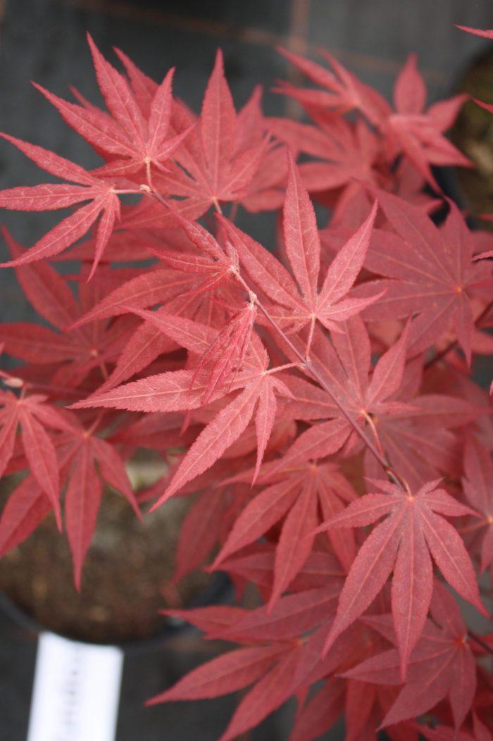"""Acer Palmatum – """" Atropurpureum """""""