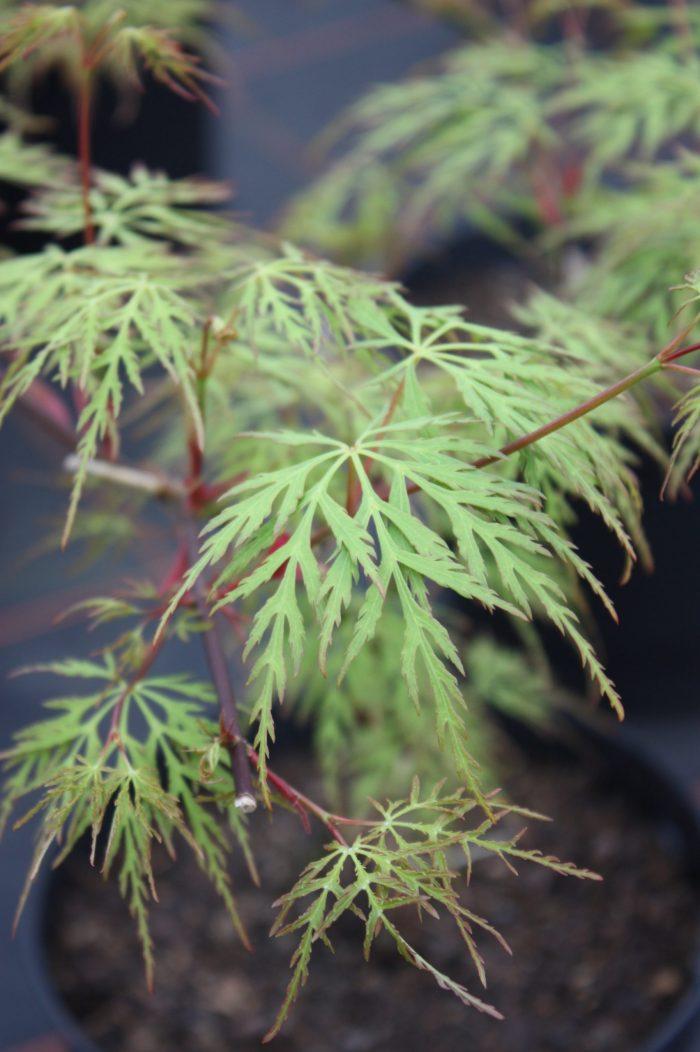 Acer Palmatum – Emerald Lace