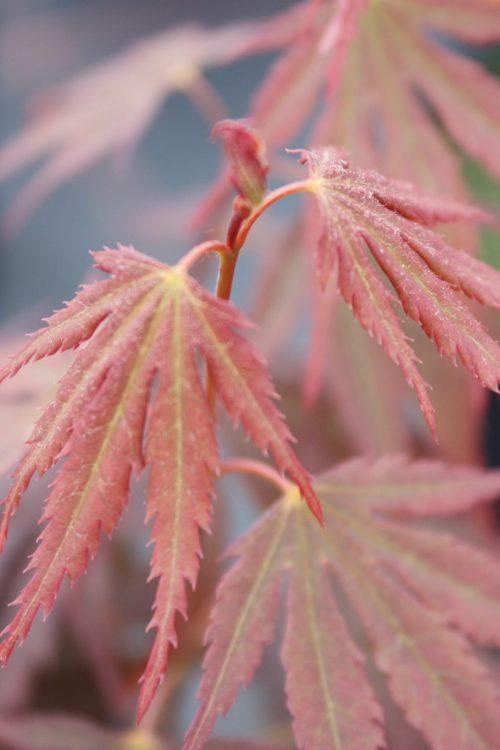 Acer Palmatum – Beni Sazanami