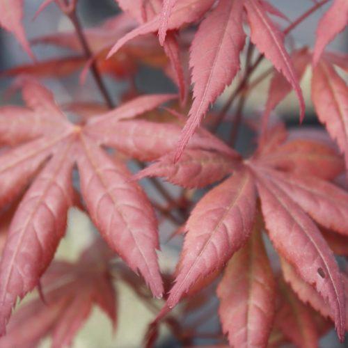 Acer Palmatum – Carlis Corner Broom