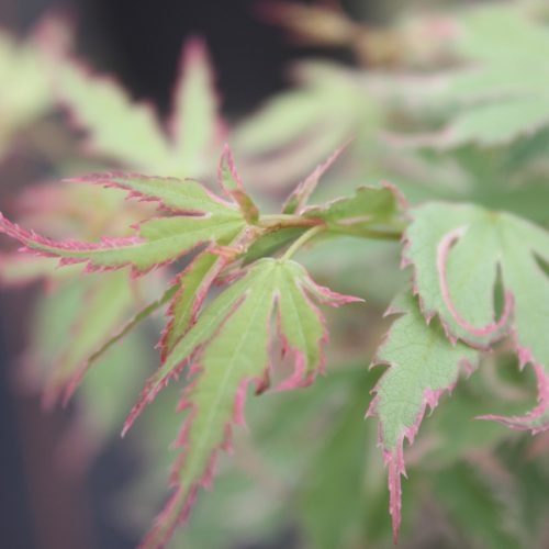 Acer Palmatum – Butterfly