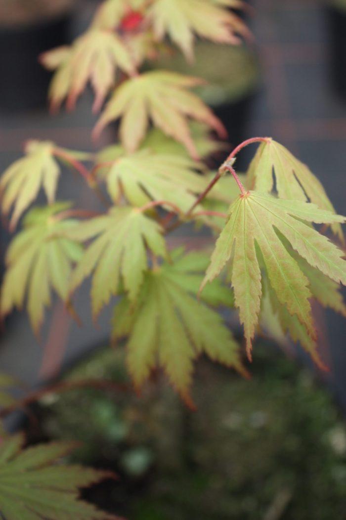 """Acer Palmatum – """" Ariadne """""""