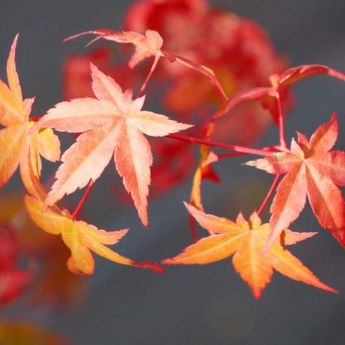 Acer Palmatum – Chisio Imp