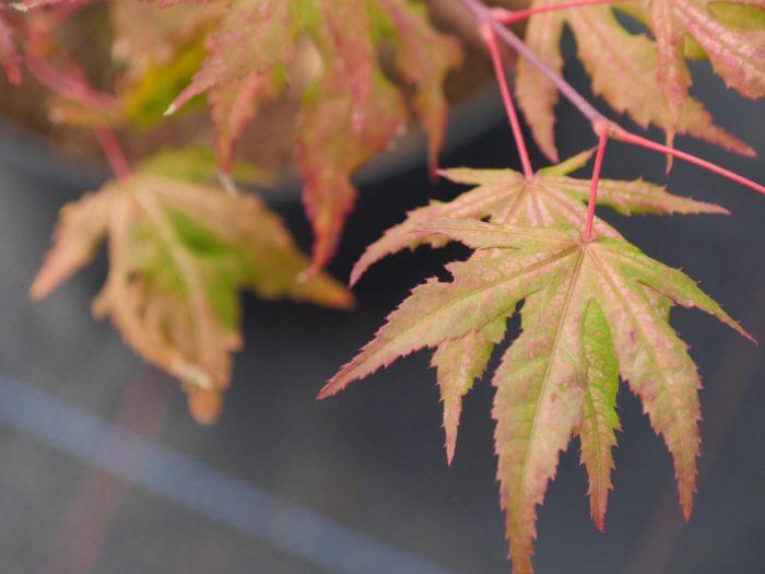 """Acer Palmatum - """" Aka Shigitatsu Sawa """""""