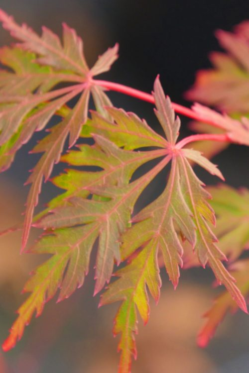 "Acer Palmatum – "" Autumn Fire """