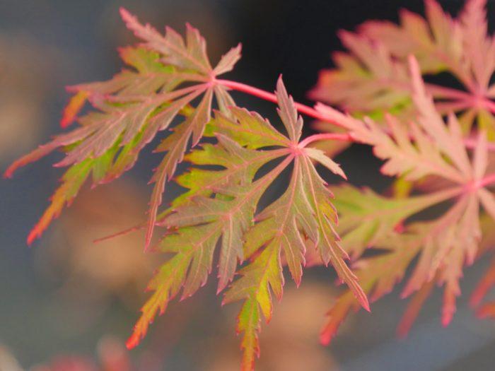 "Acer Palmatum – "" Autumn Fire """