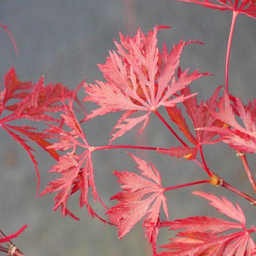 Acer Palmatum – Dissectum Nigrum
