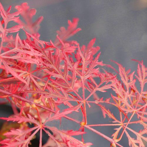 Acer Palmatum – Dissectum Ever Red