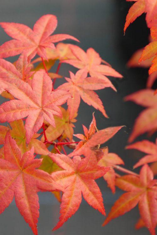 Acer Palmatum – De Shojo