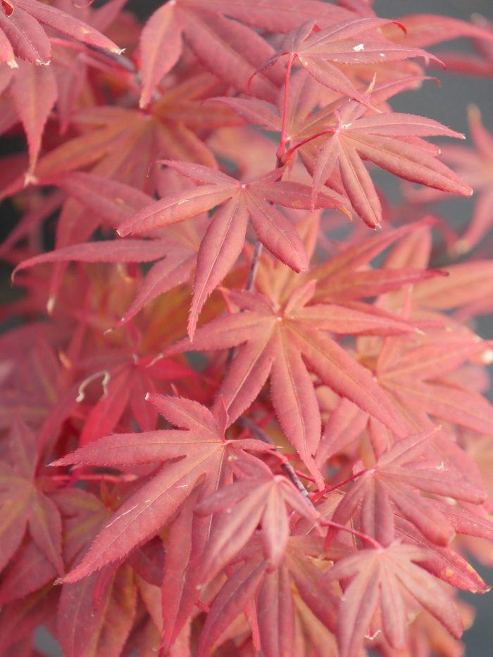 """Acer Palmatum – """" Attraction """""""