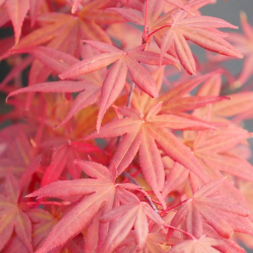 "Japanese Maple – "" Attraction """