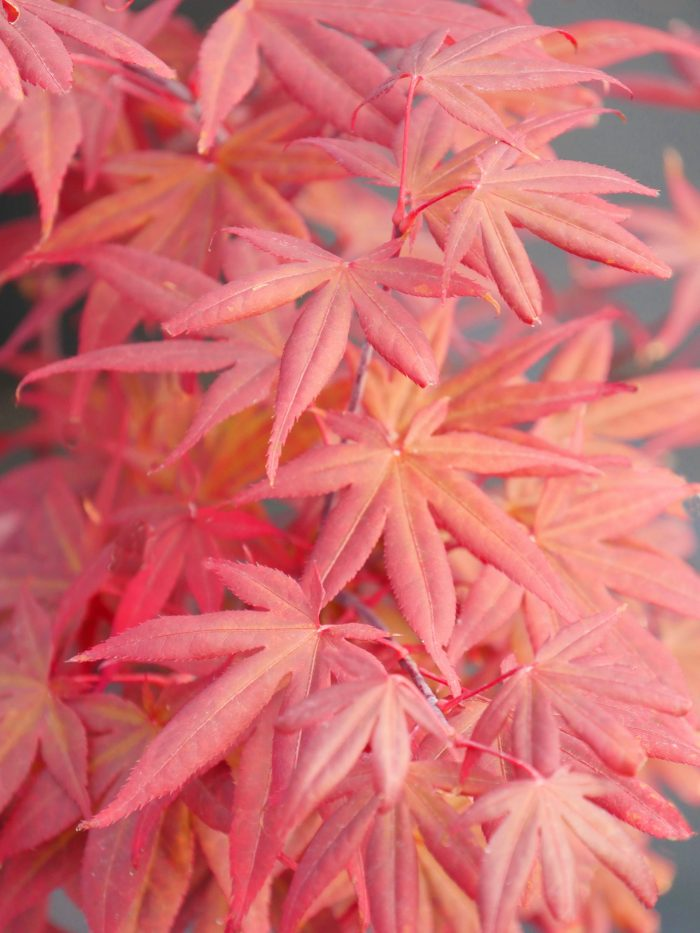 """Japanese Maple – """" Attraction """""""