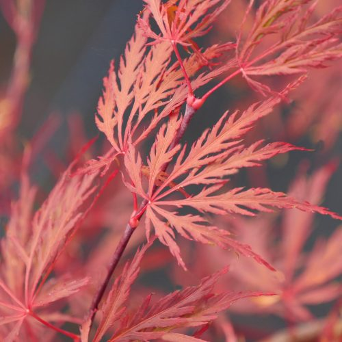 Acer Palmatum – Crimson Queen