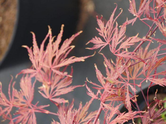 Acer Palmatum – Crimson Queen