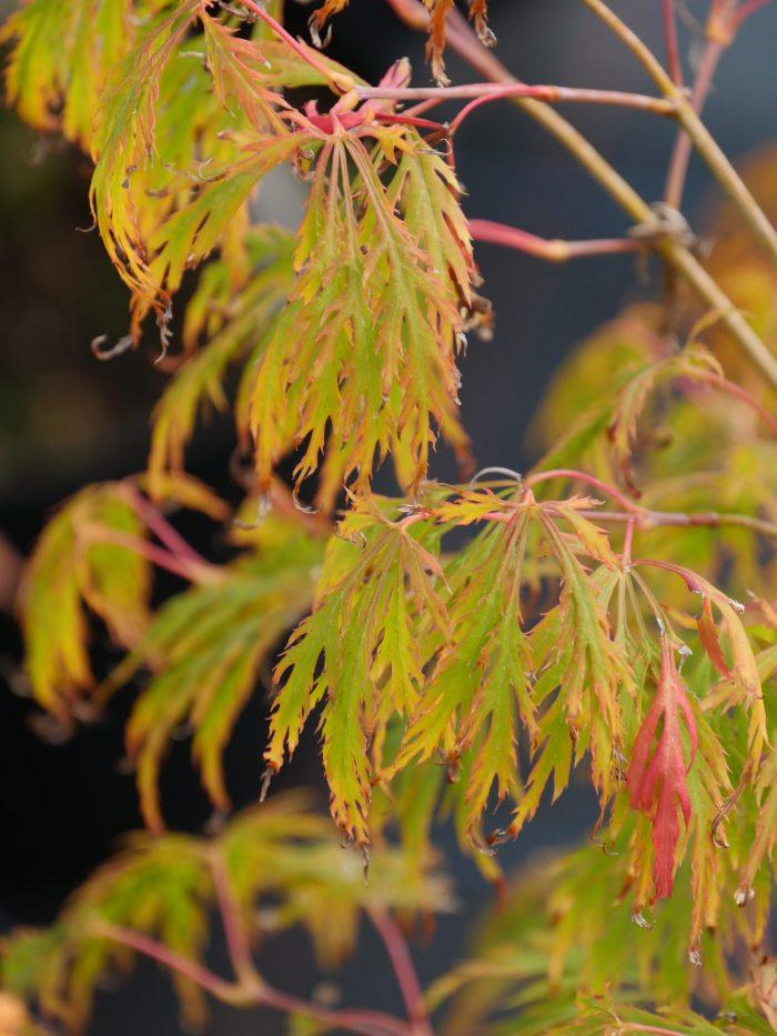 Acer Palmatum – Dissectum Vandermaat