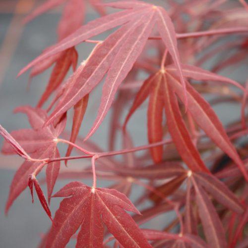 Acer Palmatum – Enkan