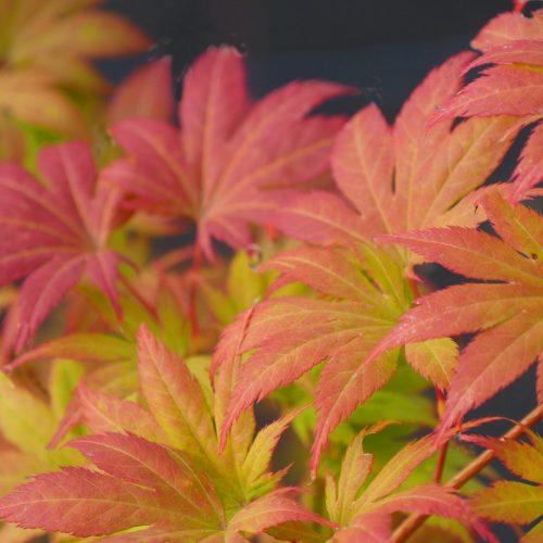 Acer Palmatum – Green Trompenburg