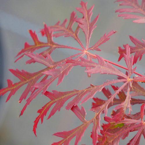 Acer Palmatum – Garnet