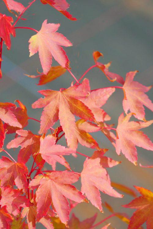 Acer Palmatum – Franny