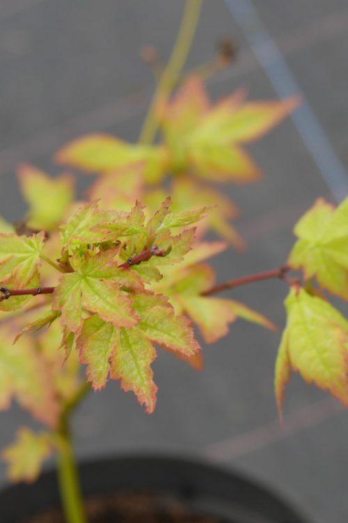 Acer Palmatum Aki Tsuma Gaki