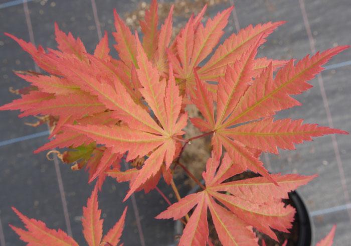 Acer Palmatum Azuma Murasaki
