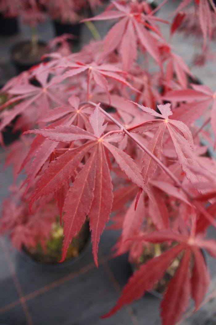 Acer Palmatum – Sumi Nagashi