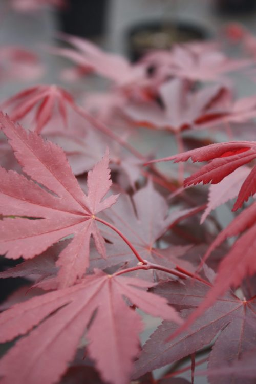 Acer Palmatum – Fireglow
