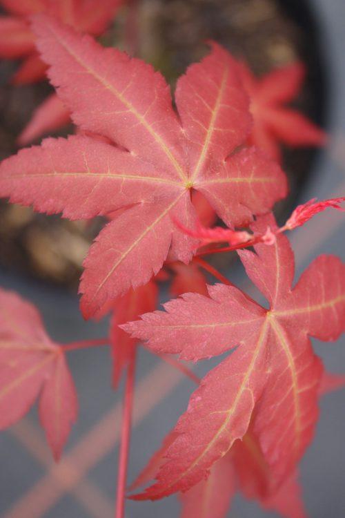 Acer Palmatum – isobel