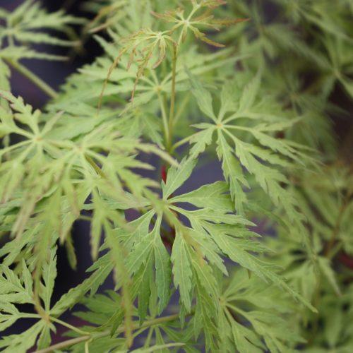Acer Palmatum – Seiryu