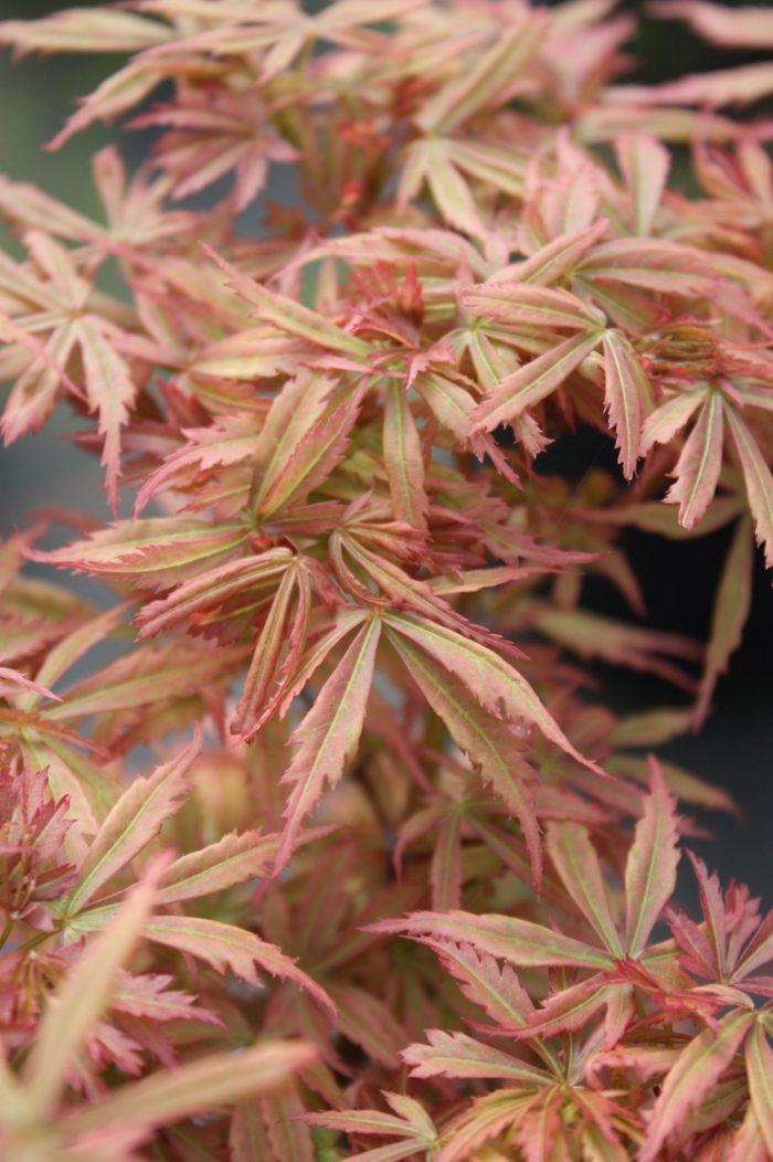 Acer Palmatum – Jerre Schwartz