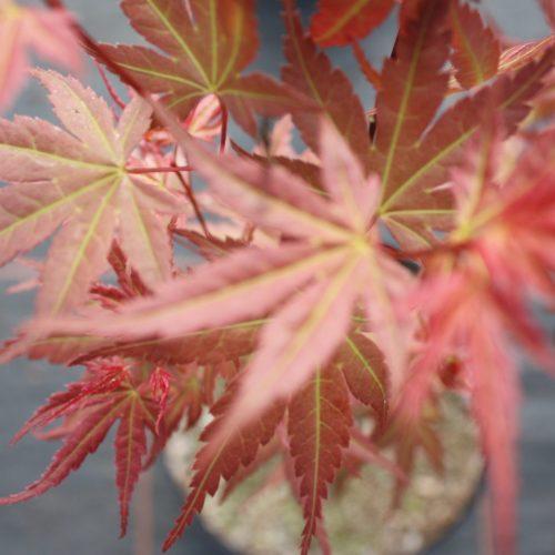 Acer Palmatum – Hino-tori-nishiki