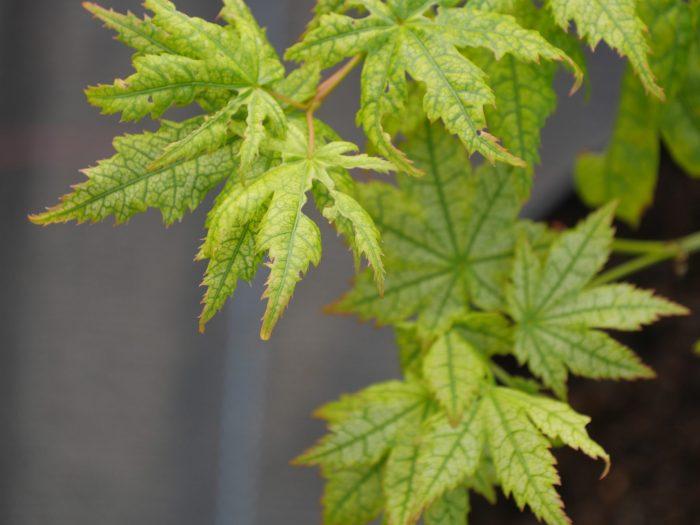 Acer Palmatum – Shigitatsu sawa