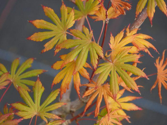Acer Palmatum – Trompenburg