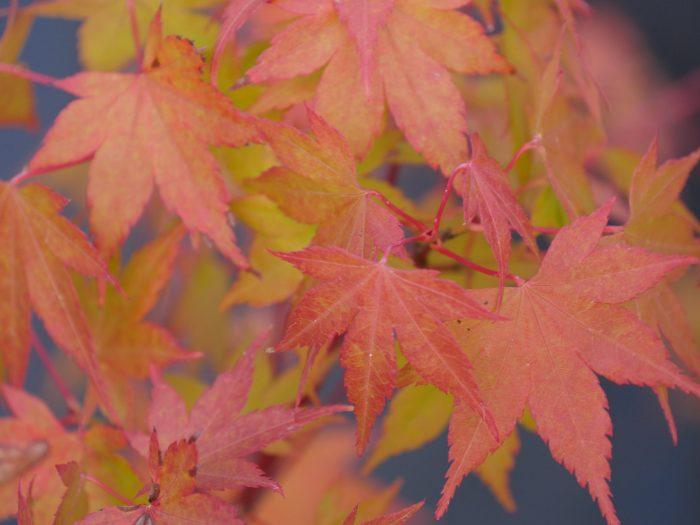 Acer Palmatum – Momoiro koya san