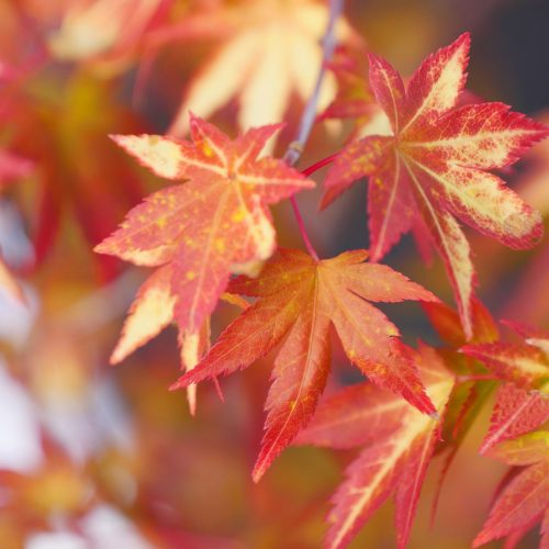 Acer Palmatum – Orange Dream