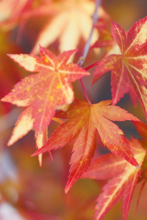 Acer Palmatum – Orange Dream
