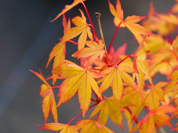 Acer Palmatum – Sango Kaku