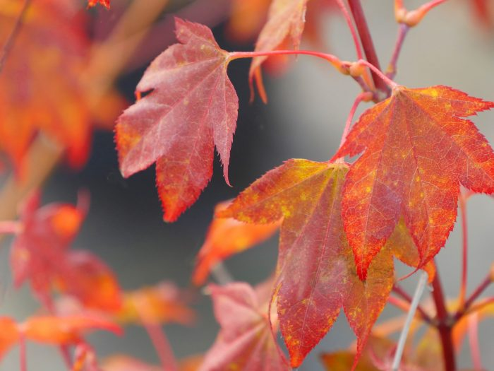 Acer Palmatum – Tsuma gaki