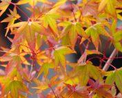 Acer Palmatum – Sunshine