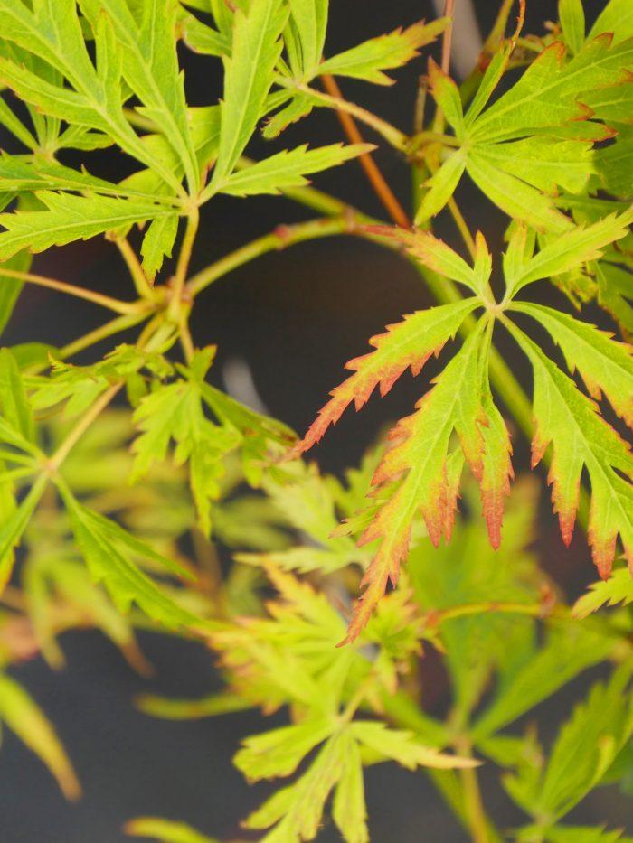 Acer Palmatum – Sunset