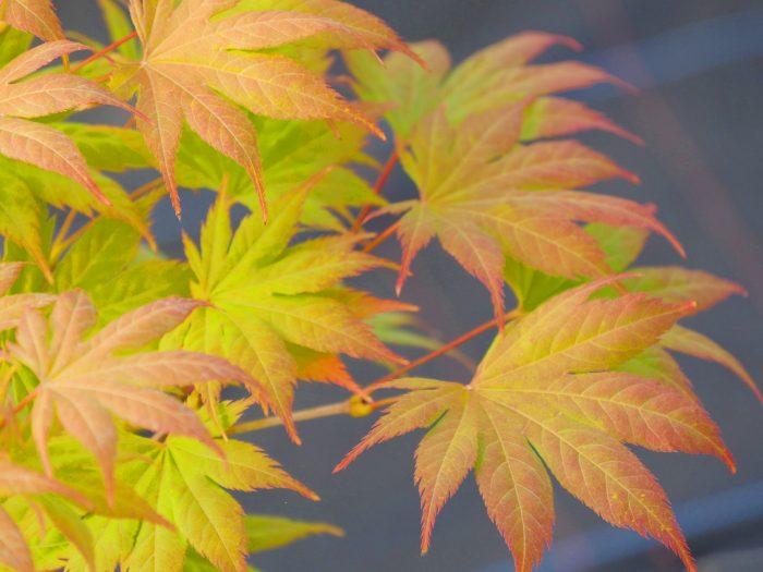 Acer Palmatum – Kishuzan