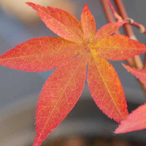 Acer Palmatum – Kokubunji Nishiki