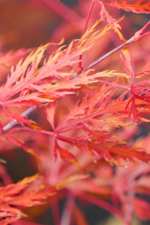 Acer Palmatum – Inaba-Shidare