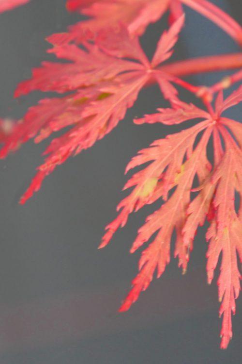 Acer Palmatum – Orangeola