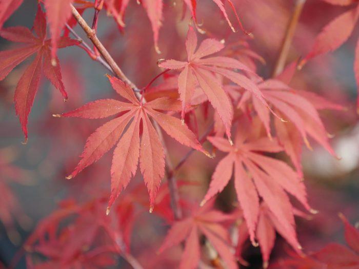 Acer Palmatum – Inazuma
