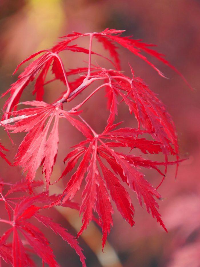 Acer Palmatum – Tamuke yama
